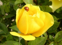 Yellow Rose with Ladybug