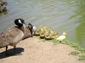 Goose family